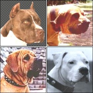 Pit Bull Terrier Japanese Tosa Dogo Argentino Fila Braziliero
