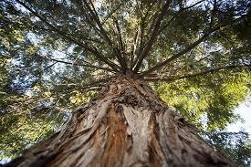 cotati redwood