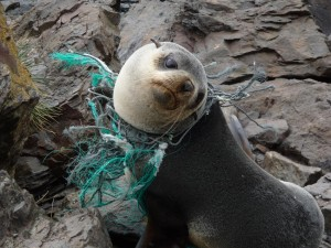 seal ensnared by nylon waste
